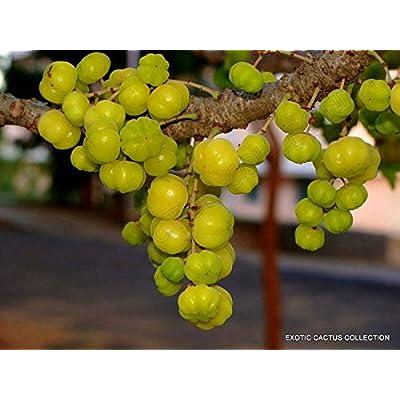 5 Seeds PHYLLANTHUS ACIDUS otaheite Tahitian Star Gooseberry Tree Rare Exotic : Garden & Outdoor