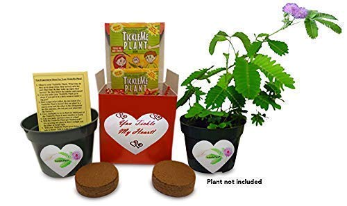 TickleMe Plant You Tickle My Heart Gift Box - Share Growing The Only House Plant That Closes Its Leaves When Tickled or When Blown a Kiss. ()