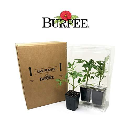 Burpee ' 'Brandywine Red' | Beefsteak Slicing Tomato, 3 Live Plants | 2 1/2