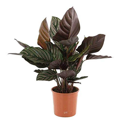 AMERICAN PLANT EXCHANGE Calathea Ornata Pinstripe Prayer Live Plant, 1 Gallon, Indoor/Outdoor Air Purifier