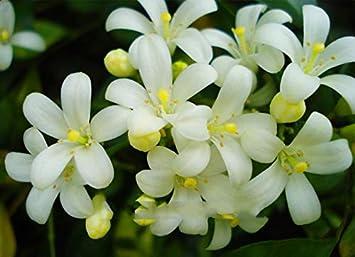 Rare White Orange Jasmine Mock Murraya Paniculata Bonsai Flor Planta Elitely 40 Pack