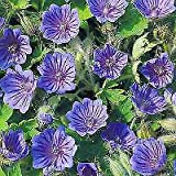 Details About Geranium sylvaticum 100 Seeds Need More? Ask