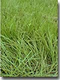 SeedRanch Pensacola Bahia Grass Seed (Coated) - 25 Lbs.