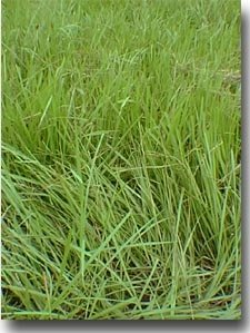 SeedRanch Pensacola Bahia Grass Seed (Coated) - 50 Lbs.