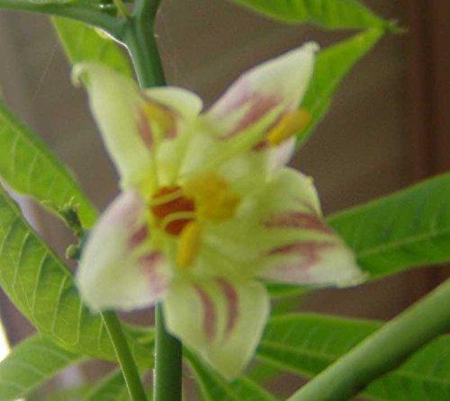 Manihot esculenta   Tapioca   Cassava   Yuca  ...