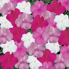 Impatiens Super Elfin Seaside Mix 500 (Seaside Mix)