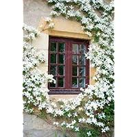 All Season Gardens Rare Grafted White Climbing Jasmine … Healthy Live Plant