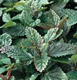 Herb Lemon Balm Common D766A (Green) 200 Organic Seeds by David's Garden Seeds