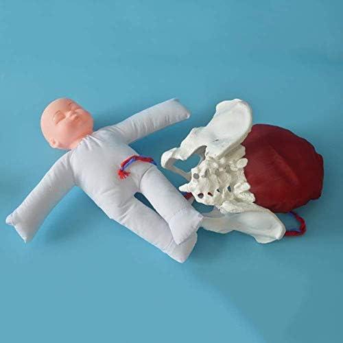 Ybzx Verloskunde Training Model Geboorte Model Met Vrouwelijke Bekken en Baby Fuuml; r Gynauml; Ecologie Onderwijs Hulpmiddel Tool