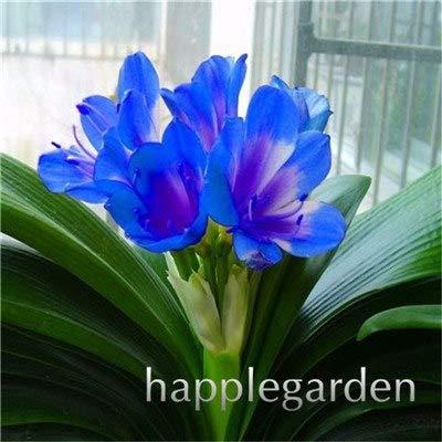Amazon.com: 100 piezas de flores baratas de clivia, hermosas ...