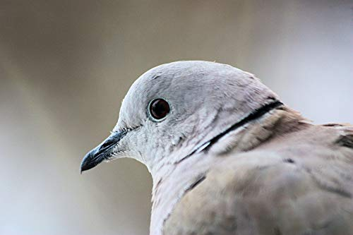 Home Comforts Laminated Poster Bird Collared Dove Dove Vivid Imagery Poster Print 11 x 17