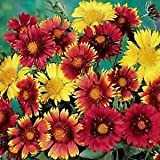 Gaillardia Aristata Monarch Mix Perennial Flowers Seeds 2,000 Pcs an