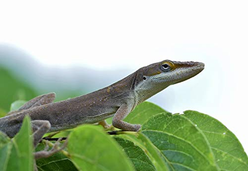 Home Comforts Canvas Print Brown Anole Reptile Anole Lizard Brown Lizard Vivid Imagery Stretched Canvas 32 x 24