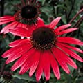 Saavyseeds Solar Flare Coneflower Seeds - 55 Count
