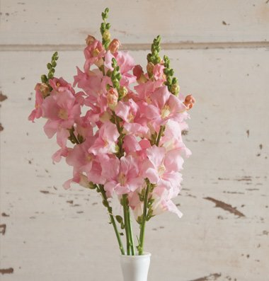 David's Garden Seeds Flower Snapdragon Chantilly Light Pink D1982SNAP (Light Pink) 50 Hybrid Seeds - Pink Snapdragons