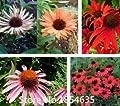 Echinacea Purpurea 'Rubinstern' (Large Plant) Coneflower Seeds, Professional Pack, 100 Seeds / Pack, Hardy Perennial Flowers Bon