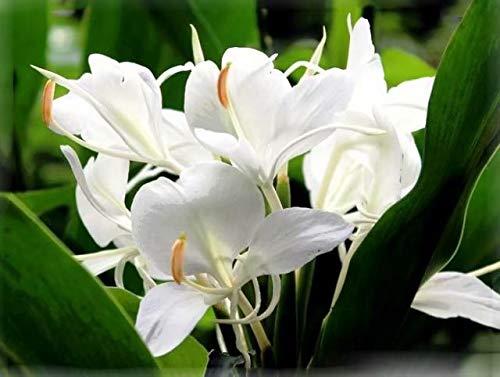 White Cannas Lily Bulbs -1 Bulbs-Fresh Pretty Flower Plant Bonsai Decor, Long Flowering Period