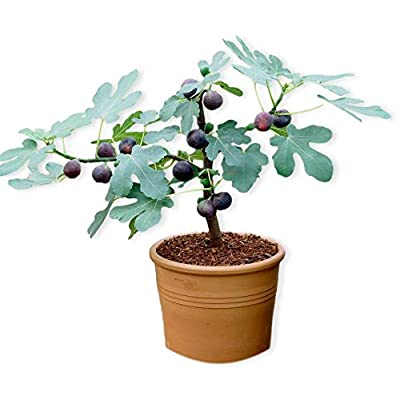 """Chicago Hardy Fig w/Edible Fruit - Well Rooted Fig Tree Plant in 2.5"""" Pot 