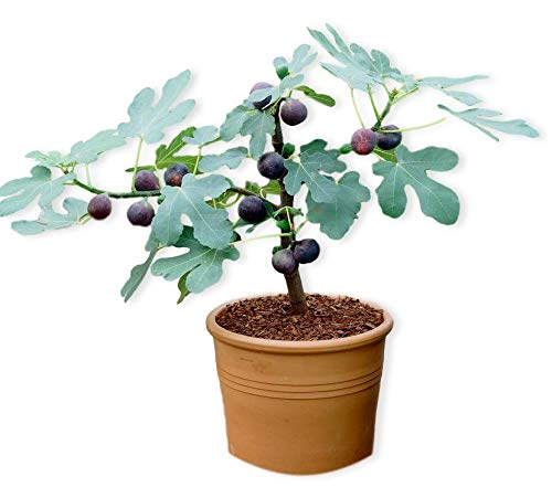 "Chicago Hardy Fig w/Edible Fruit - Well Rooted Fig Tree Plant in 2.5"" Pot 