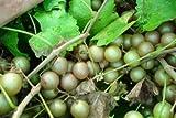 1 gallon,CARLOS Muscadine Grape Vine Shrub, SELF FERTILE, BRONZE COLOR, Heavy producer, Great Source of Antioxidants, medium sized, #1 in bronze juice and wine variety (Hydrangeas Shrub, Evergreens, Gardenia