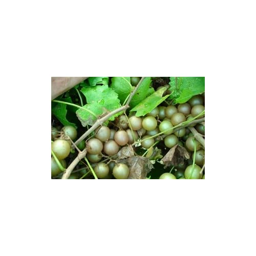 New (1 Gallon Plant) Doreen Muscadine Grape Vine, Bronze; Fruit Are Medium in Size, Ripen Late, Clusters, and Has Good Flavor. Drought, Insect, Disease, Heat Resistant
