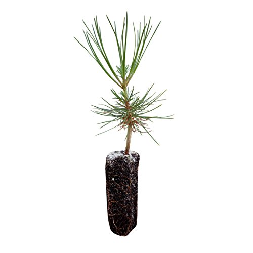 Ponderosa Pine | Live Tree Seedling (Medium) | The Jonsteen Company
