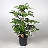 Zimmertanne 120 cm Araucaria heterophylla Norfolk-Tanne Zimmerpflanze