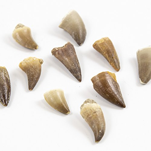 Museum Quality Mosasaurus Teeth - Genuine Mosasaur Dinosaur Tooth from the Late Cretaceous Period - A-Grade Dinosaur Fossils (Set of ()