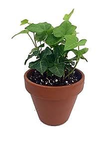 """La vuelta a la escuela Ivy–planta 4""""olla de barro (para un mejor crecimiento"""