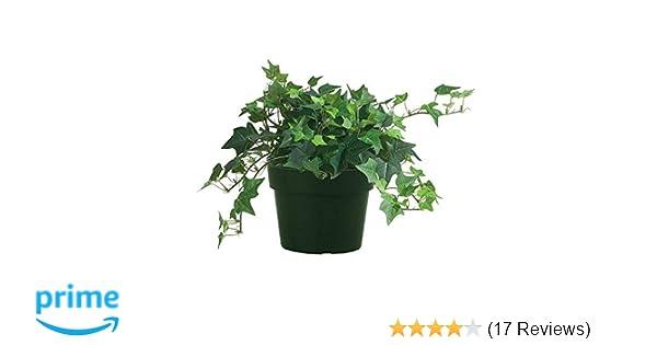 AMERICAN PLANT EXCHANGE Easy Care English Ivy Large Leaf Trailing Vine Live  Plant, 6