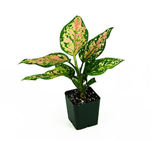 Chinese Evergreen Plant (Aglaonema 'Wishes')
