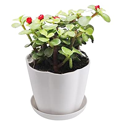 Leoyoubei Petal Type Pots Desktop/Balcony Flower Pots to Send Tray Perfect for Herbs Small Flowers and Succulents Nursery Pots with Saucers, White 5 Pack : Garden & Outdoor