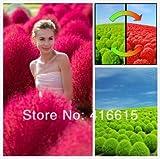 Shopvise Heirloom 1000 Pcsseeds/Bag Grass Burning Bush Kochia Scoparia Red Garden Seeds Exotic