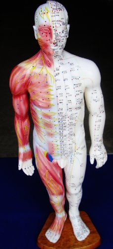 Model Anatomy Professional Medical Acupuncture Muscle Male 55cm 22'' IT-119 ANGELUS by Angelus