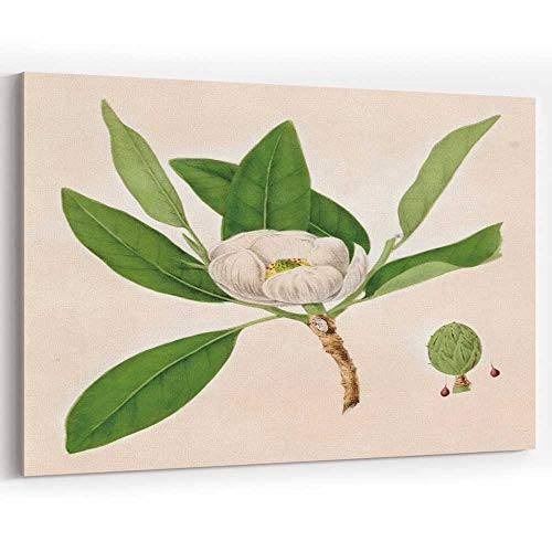 (Magnolia Plant Botanical Engraving 1843 Canvas Prints Wall Art Painting Wall Art Print on Canvas)