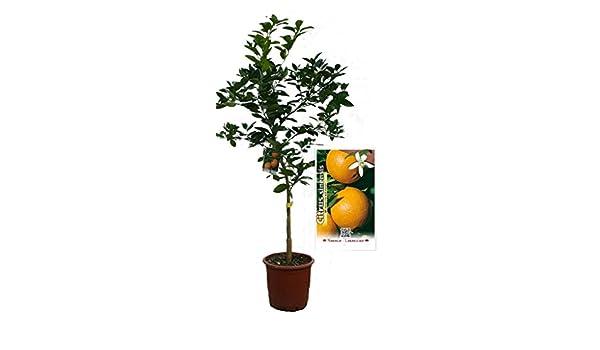 Naranjo Navelina - Árbol frutal de 2 años: Amazon.es: Jardín