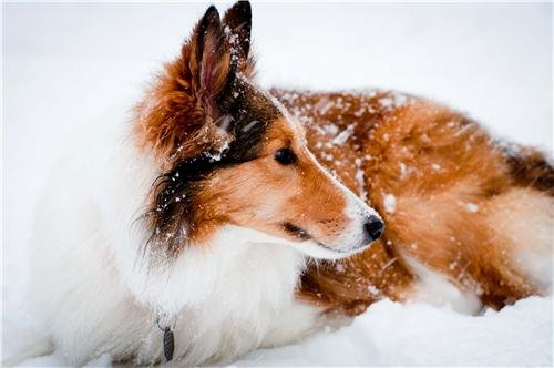 ROUGH COLLIE IN THE SNOW GLOSSY POSTER PICTURE PHOTO lassie dog puppy cute (Collie Pictures compare prices)