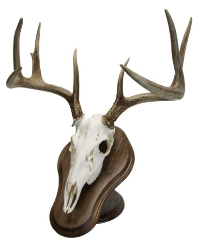 Walnut Hollow Country Solid Wood Deluxe Euro Skull Display Kit in Walnut for Table or Wall Mounting