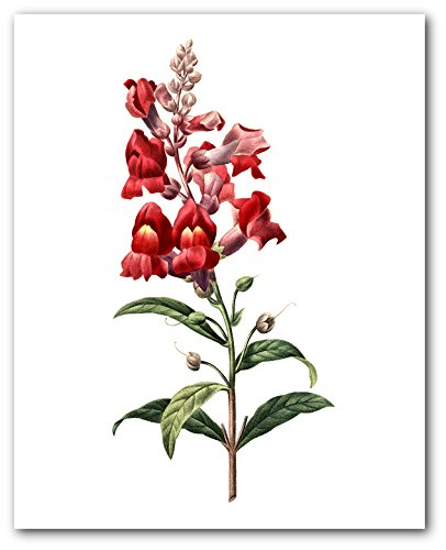 Snapdragon Print, Botanical Antirrhinum Majus Flower, 8 x 10 Inches, Unframed