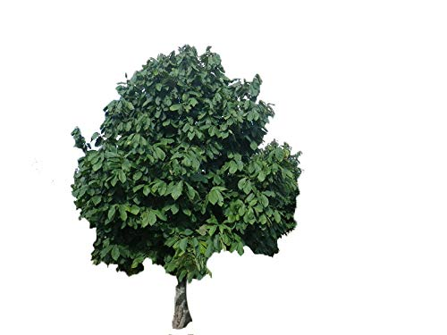 Paw-Paw Tree Asimina triloba Edible Fruit 17'' - 24'' Nice Heavy Roots - One Trade Gallon Pot - 1 plant by Growers Solution by Grower's Solution (Image #6)