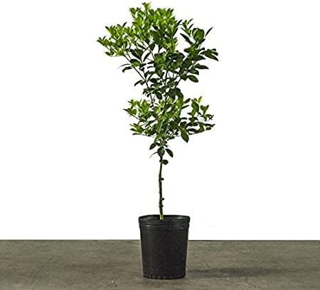 Amazon Com 3 4 Year Old Improved Meyer Lemon Tree In Grower S