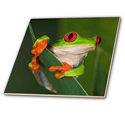 (3dRose ct_83654_1 Red Eyed Tree Frog NA02 AJE0384 Adam Jones Ceramic Tile, 4