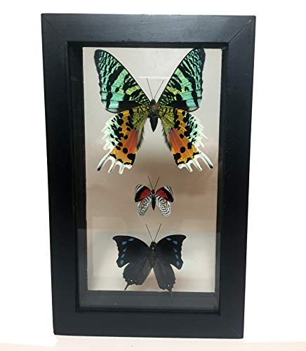 Framed BUTTERFLY TAXIDERMY TRIO – Real butterflies under Glass –double sided -with museum quality black frames wide enough to stand on table / desk or for a color explosion of butterfly wall art.