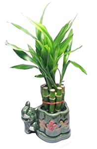 lucky bamboo plant 10 stalks grocery gourmet food. Black Bedroom Furniture Sets. Home Design Ideas