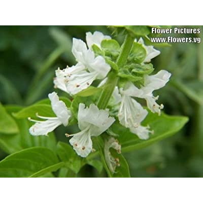1500 LEMON BASIL Ocimum Basilicum HERB Flower Seeds : Herb Plants : Garden & Outdoor