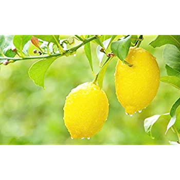 Amazon.com : Dwarf Meyer Lemon Tree 35 Seeds Produces ...