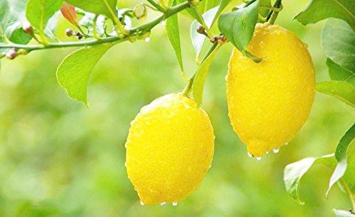 Organic Lemon Fruit Tree 20 Seeds For Planting Indoor/Outdoor (Yellow Lemon Seeds)