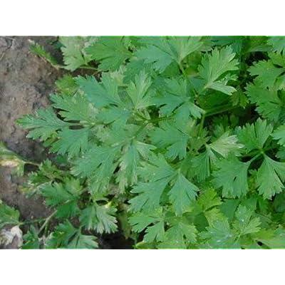 Cutdek Parsley Bulk 1000 Seeds Dark Green Italian Flat Leaf : Garden & Outdoor