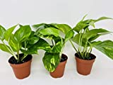 "Golden Devil's Ivy Pothos 4"" Pot 3 pack Very Easy"