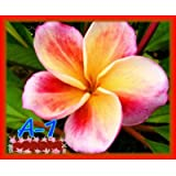 7 -15 inch rooted plumeria plants Rare Real plumeria flowers No.1 A-1